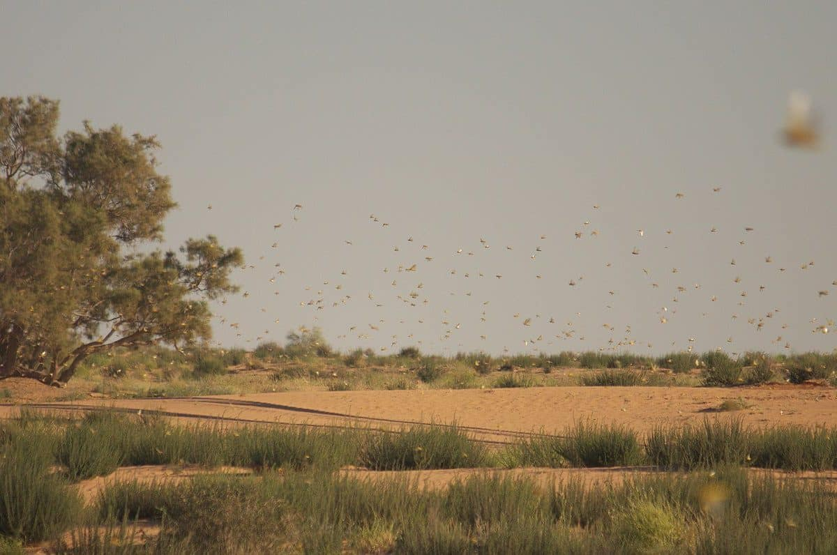 Yet more locust plagues on the way in East Africa | UMMA MEDIA